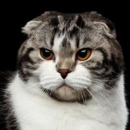Katzenrasse Scottish Fold Shorthair